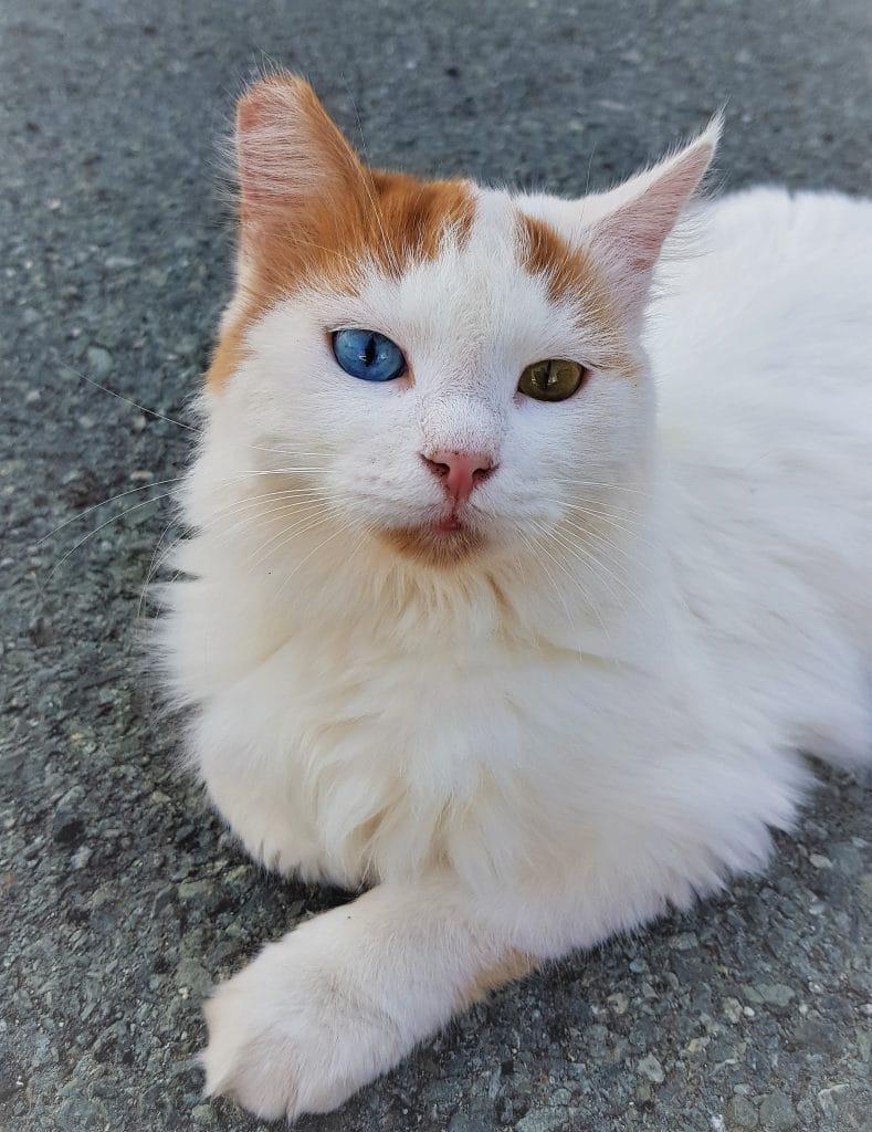 ear clipping stray cat