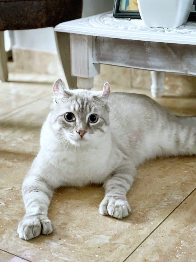 highlander cat