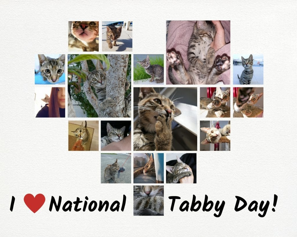 national tabby day