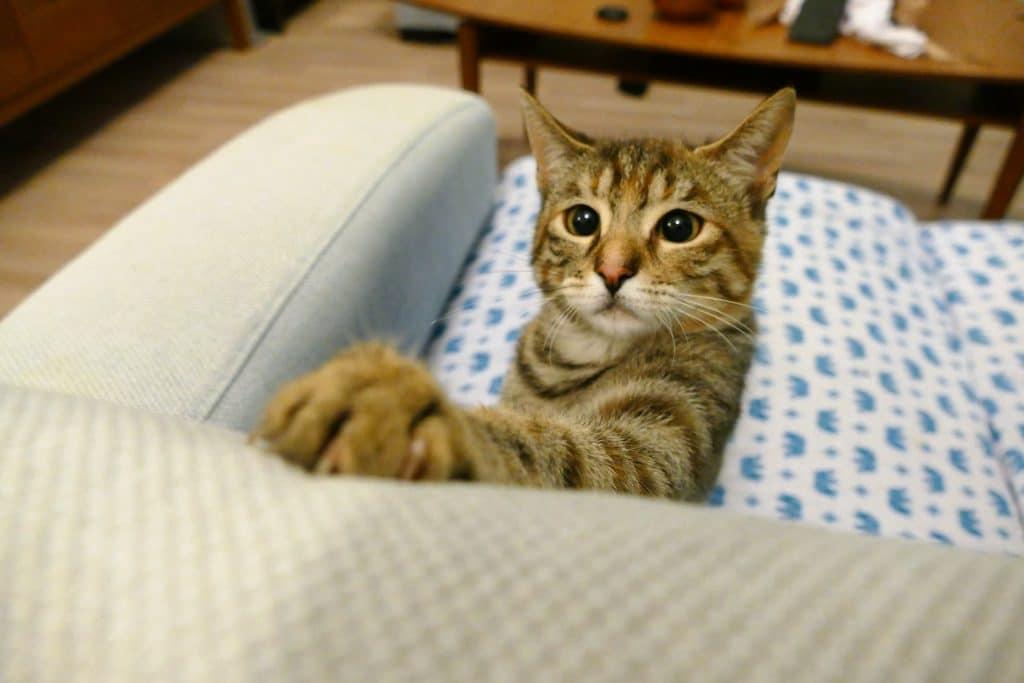cat scratching sofa